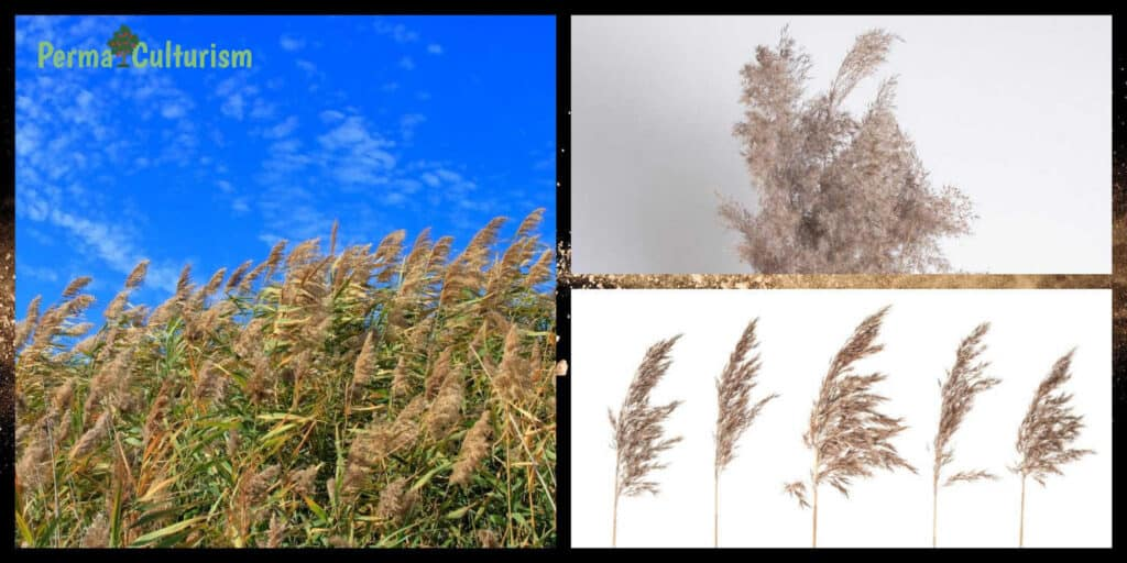 Giant Reed Arundo Donax