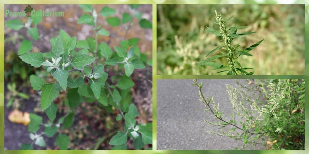 Lamb's Quarter Weed (Chenopodium album)