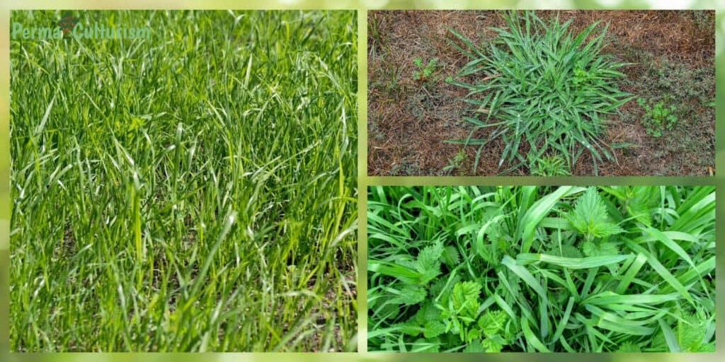 Quackgrass (Elytrigia Repens)